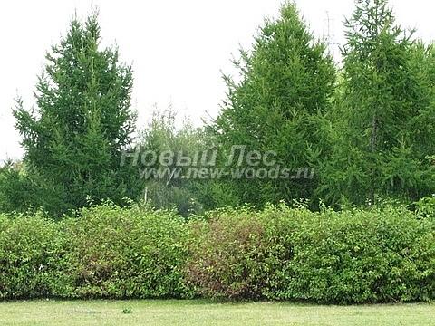 Живая изгородь из лиственных растений Дерен белый (Кизил белый) Сибирика (Cornus alba 'Sibirica')