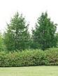 Живая изгородь из лиственных растений Дерен белый (Кизил белый) Сибирика (Cornus alba 'Sibirica') - 101