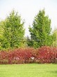 Живая изгородь из лиственных растений Дерен белый (Кизил белый) Сибирика (Cornus alba 'Sibirica') - 102