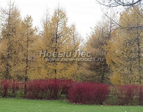 Живые изгороди: посадки из Дерна белого Сибирика осенью имеют красный цвет