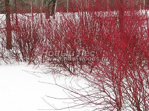 Живые изгороди: зимняя окраска ветвей изгороди из кустарника Дёрен белый Сибирика