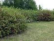 Живая изгородь из лиственных растений Дерен белый (Кизил белый) Сибирика (Cornus alba 'Sibirica') - 105