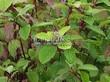 Живая изгородь из лиственных растений Дерен белый (Кизил белый) Сибирика (Cornus alba 'Sibirica') - 106