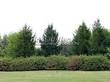 Живая изгородь из лиственных растений Дерен белый (Кизил белый) Сибирика (Cornus alba 'Sibirica') - 107
