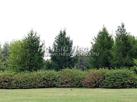 Живые изгороди: Дерен белый Сибирика в изгороди летом (высота 1,5 метра, Московская область)