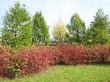 Живая изгородь из лиственных растений Дерен белый (Кизил белый) Сибирика (Cornus alba 'Sibirica') - 108