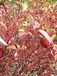Живая изгородь из лиственных растений Дерен белый (Кизил белый) Сибирика (Cornus alba 'Sibirica') - 109