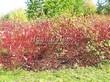 Живая изгородь из лиственных растений Дерен белый (Кизил белый) Сибирика (Cornus alba 'Sibirica') - 110