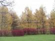 Живая изгородь из лиственных растений Дерен белый (Кизил белый) Сибирика (Cornus alba 'Sibirica') - 111