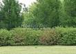 Живая изгородь из лиственных растений Дерен белый (Кизил белый) Сибирика (Cornus alba 'Sibirica') - 112