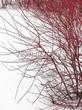 Живая изгородь из лиственных растений Дерен белый (Кизил белый) Сибирика (Cornus alba 'Sibirica') - 113