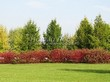 Живая изгородь из лиственных растений Дерен белый (Кизил белый) Сибирика (Cornus alba 'Sibirica') - 114