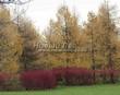 Живая изгородь из лиственных растений Дерен белый (Кизил белый) Сибирика (Cornus alba 'Sibirica') - 116