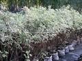 Живая изгородь из лиственных растений Дерен белый (Кизил белый) Элегантиссима (Cornus alba 'Elegantissima')