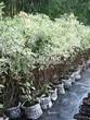 Живая изгородь из лиственных растений Дерен белый (Кизил белый) Элегантиссима (Cornus alba 'Elegantissima') - 101