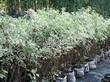 Живая изгородь из лиственных растений Дерен белый (Кизил белый) Элегантиссима (Cornus alba 'Elegantissima') - 102