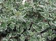 Живая изгородь из лиственных растений Дерен белый (Кизил белый) Элегантиссима (Cornus alba 'Elegantissima') - 103