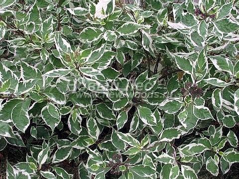 Живые изгороди: летняя окраска листвы растения Дерен белый Элегантиссима