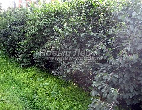 Живая изгородь из лиственных растений Жимолость Маака (Жимолость амурская) (Lonicera maackii)