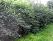 Живая изгородь из лиственных растений Жимолость Маака (Жимолость амурская) (Lonicera maackii) - 101