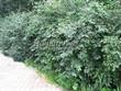Живая изгородь из лиственных растений Жимолость Маака (Жимолость амурская) (Lonicera maackii) - 102