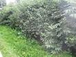 Живая изгородь из лиственных растений Жимолость Маака (Жимолость амурская) (Lonicera maackii) - 104
