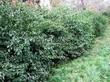 Живая изгородь из лиственных растений Жимолость Маака (Жимолость амурская) (Lonicera maackii) - 106