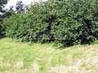 Живая изгородь из лиственных растений Жимолость Маака (Жимолость амурская) (Lonicera maackii) - 107