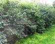 Живая изгородь из лиственных растений Жимолость Маака (Жимолость амурская) (Lonicera maackii) - 108