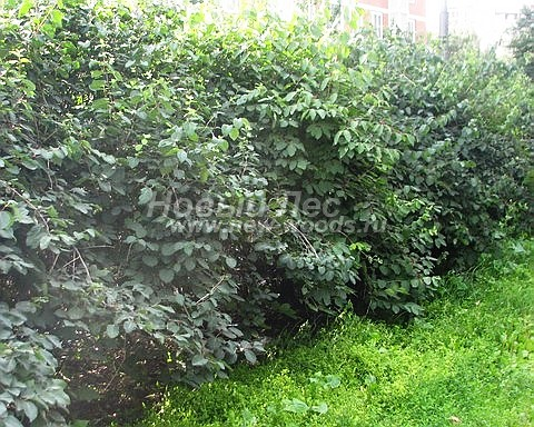 Живые изгороди: летний вид изгороди из Жимолости Маака (Жимолости Амурской) в Московской области (высота 2 метра)
