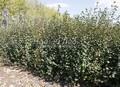 Живая изгородь из лиственных растений Ирга круглолистная (Amelanchier ovalis)
