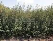 Живая изгородь из лиственных растений Ирга круглолистная (Amelanchier ovalis) - 102
