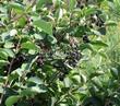 Живая изгородь из лиственных растений Ирга круглолистная (Amelanchier ovalis) - 103