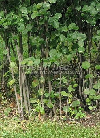 Живые изгороди: изгородь Ирги круглолистной образуется за счёт густоты побегов и силы самого куста