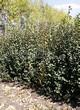 Живая изгородь из лиственных растений Ирга круглолистная (Amelanchier ovalis) - 105