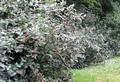 Живая изгородь из лиственных растений Калина гордовина (Viburnum lantana)