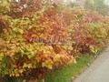Живая изгородь из лиственных растений Калина обыкновенная (Viburnum opulus)