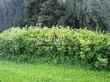 Живая изгородь из лиственных растений Калина обыкновенная (Viburnum opulus) - 101