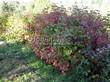 Живая изгородь из лиственных растений Калина обыкновенная (Viburnum opulus) - 102