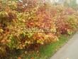 Живая изгородь из лиственных растений Калина обыкновенная (Viburnum opulus) - 103