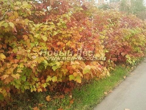 Живые изгороди: осенняя окраска изгороди из Калины обыкновенной на одной из улиц Москвы (тёплая осень)