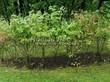Живая изгородь из лиственных растений Калина обыкновенная (Viburnum opulus) - 104