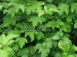 Живая изгородь из лиственных растений Калина обыкновенная (Viburnum opulus) - 105