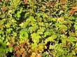 Живая изгородь из лиственных растений Калина обыкновенная (Viburnum opulus) - 106