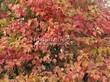 Живая изгородь из лиственных растений Калина обыкновенная (Viburnum opulus) - 107