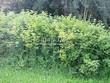 Живая изгородь из лиственных растений Калина обыкновенная (Viburnum opulus) - 108