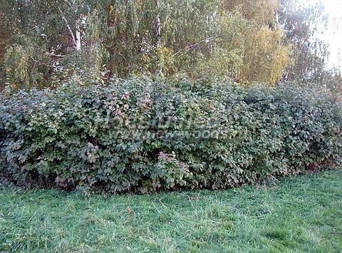Живые изгороди: изгородь из растения Калина обыкновенная хорошо себя чувствует на участке в тени берёз (высота 2 м, лето, Тульская область)