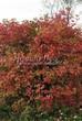 Живая изгородь из лиственных растений Калина обыкновенная (Viburnum opulus) - 110