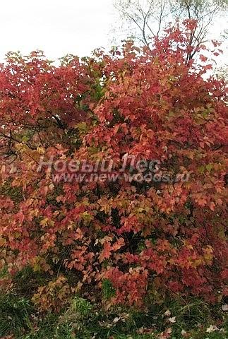 Живые изгороди: осенняя окраска куста Калины обыкновенной (красный обычно преобладает, Московская область, высота около 3 метров)