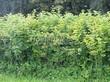 Живая изгородь из лиственных растений Калина обыкновенная (Viburnum opulus) - 111